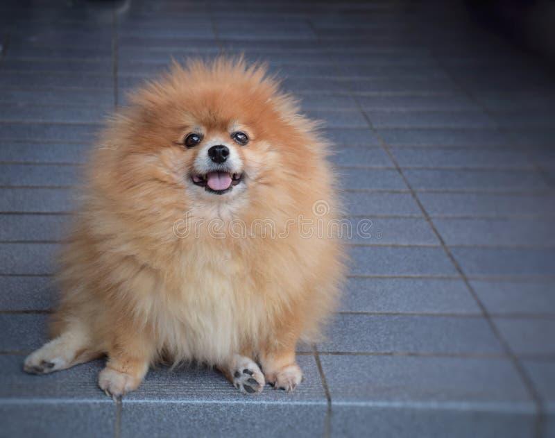Perro del marrón de Pomeranian foto de archivo