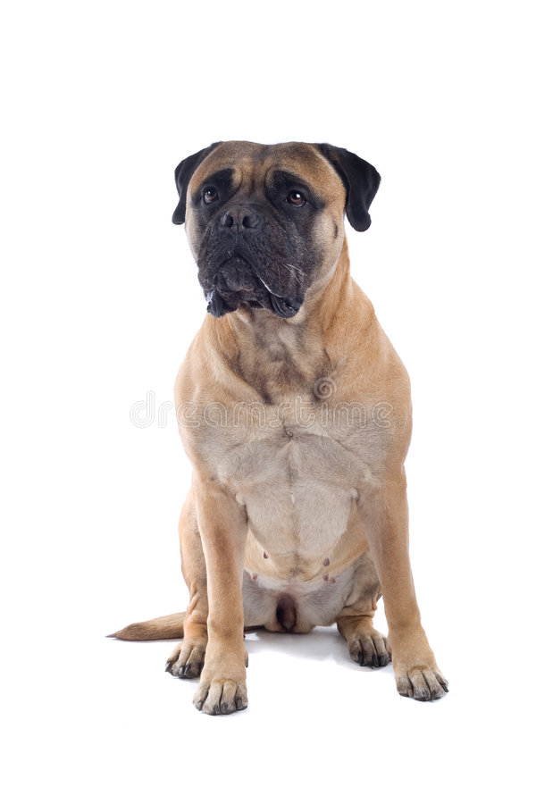 Perro del mastín de Bull imagen de archivo