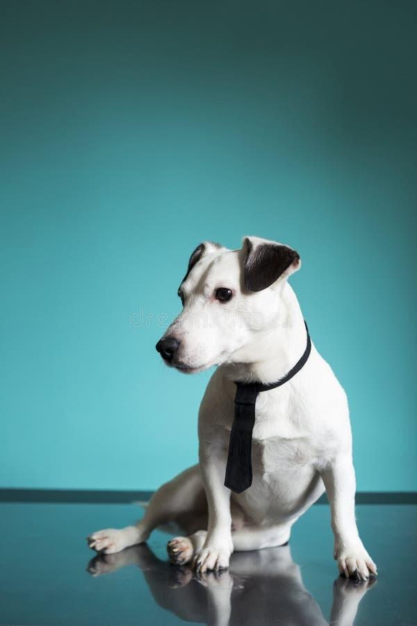 Perro del negocio del terrier de Jack Russell con un lazo negro en fondo de la turquesa fotografía de archivo libre de regalías