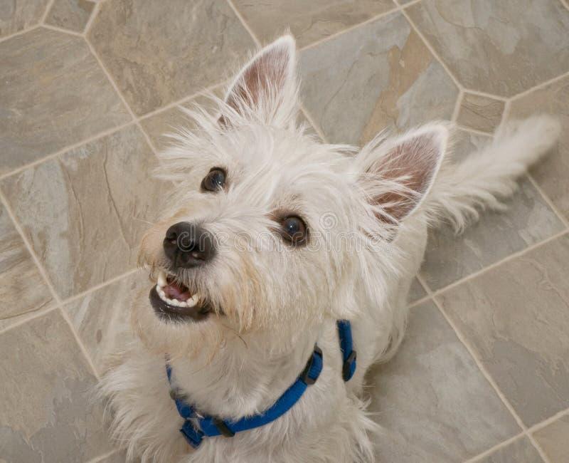 Perro del oeste del terrier de la montaña que anticipa un convite fotos de archivo libres de regalías