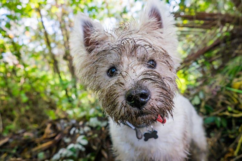 Perro del oeste sucio del westie del terrier de la montaña con la cara fangosa al aire libre foto de archivo
