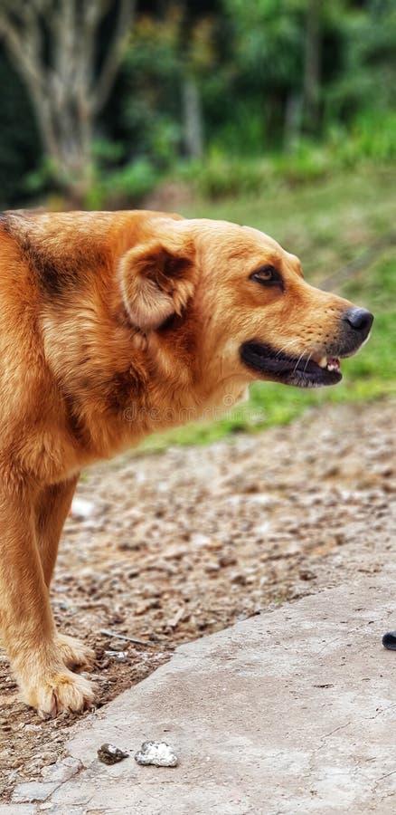 Perro del oro que sonríe en la granja foto de archivo