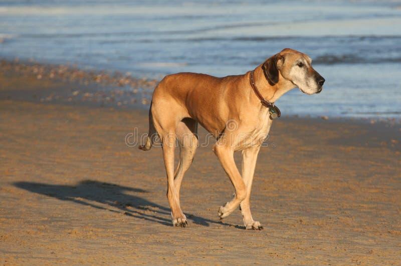 Perro del pedigrí del gran danés fotos de archivo libres de regalías