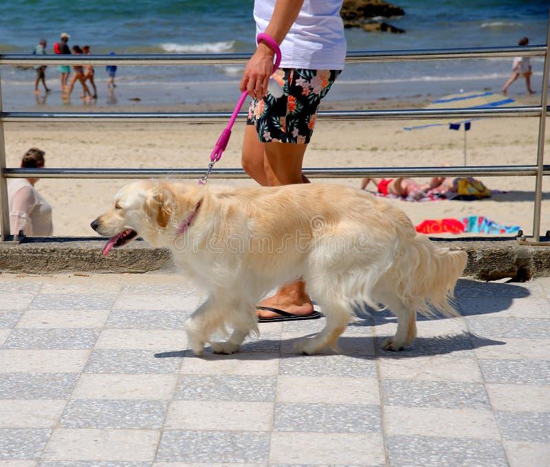 Perro del perro perdiguero de oro El perro feliz, perro perdiguero de oro se coloca orgulloso en la 'promenade' fotografía de archivo libre de regalías