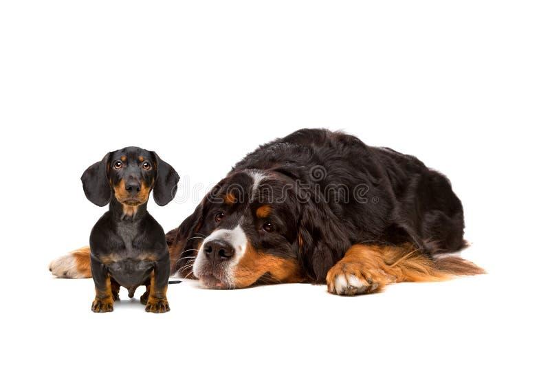 Perro del perro basset y de Bernese fotografía de archivo