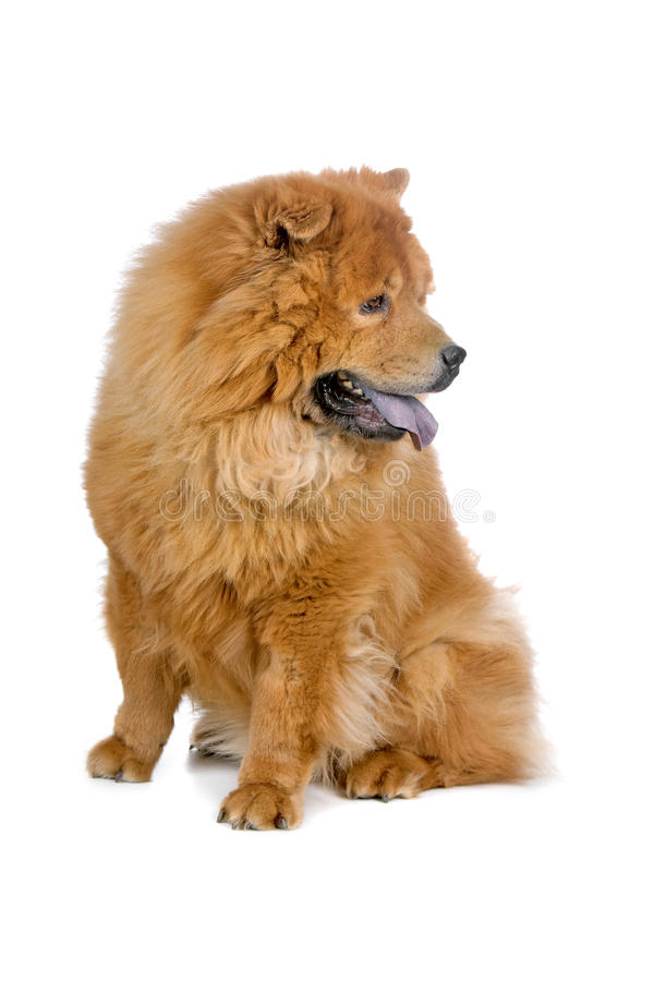 Perro del perro chino de perro chino imagen de archivo