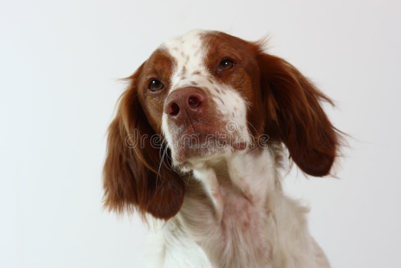 Perro del perro de aguas de Bretaña que mira a la cara imagen de archivo