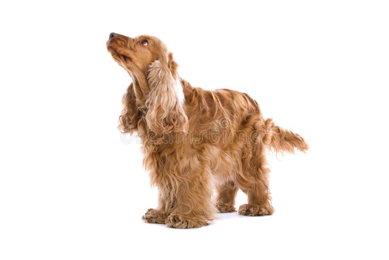 Perro del perro de aguas de cocker imagenes de archivo