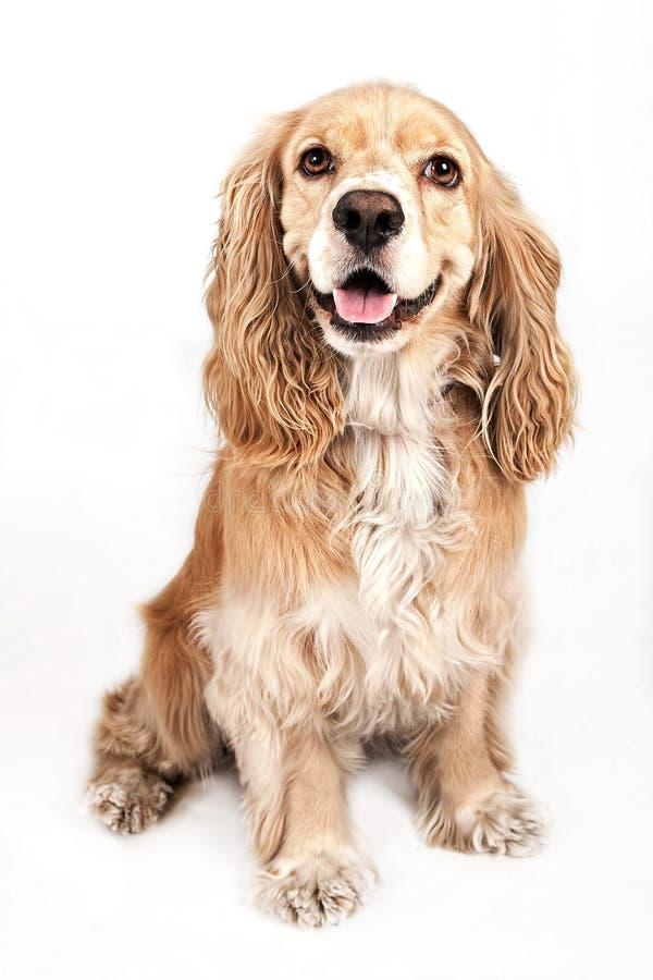 Perro del perro de aguas de cocker aislado en blanco fotografía de archivo