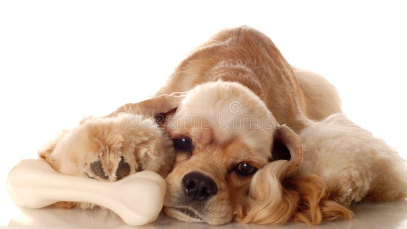 Perro del perro de aguas de cocker con el hueso fotografía de archivo