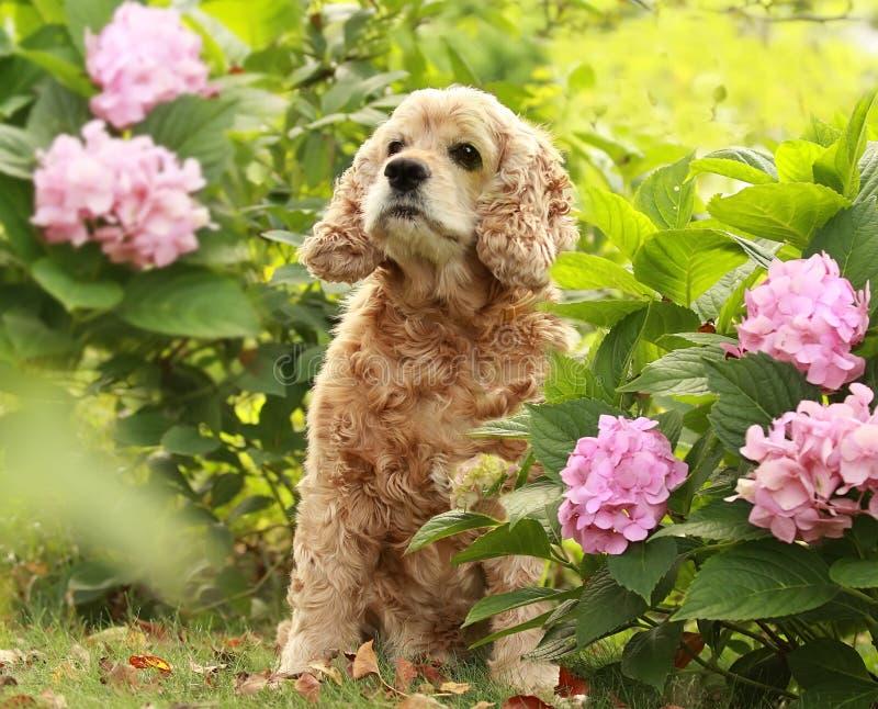 Perro del perro de aguas de cocker inglés de la casta en flores foto de archivo