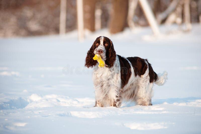 Perro del perro de aguas de saltador con un juguete fotografía de archivo