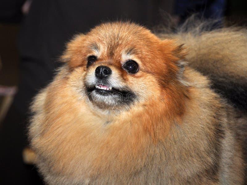 Perro del perro de Pomerania imágenes de archivo libres de regalías