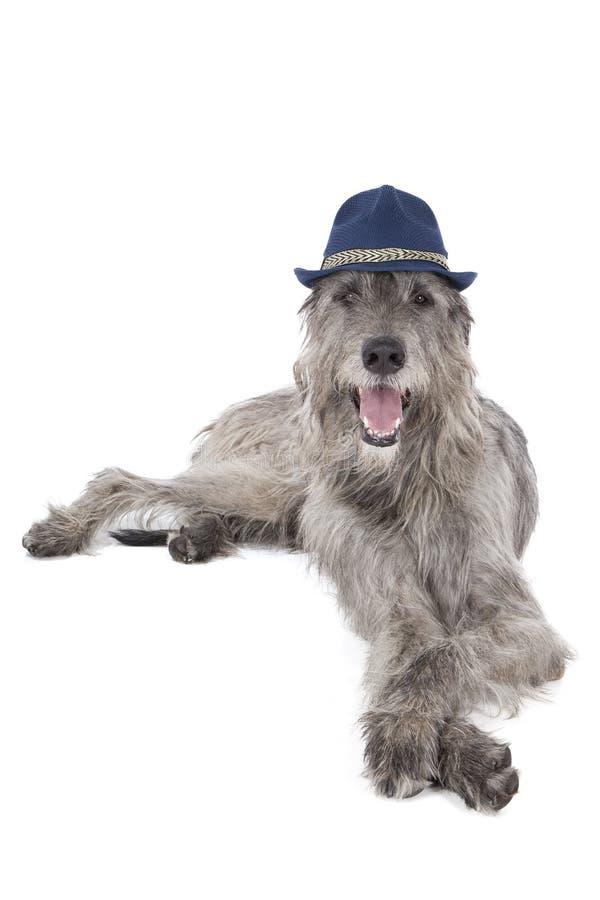 Perro del perro lobo irlandés en un sombrero imagen de archivo