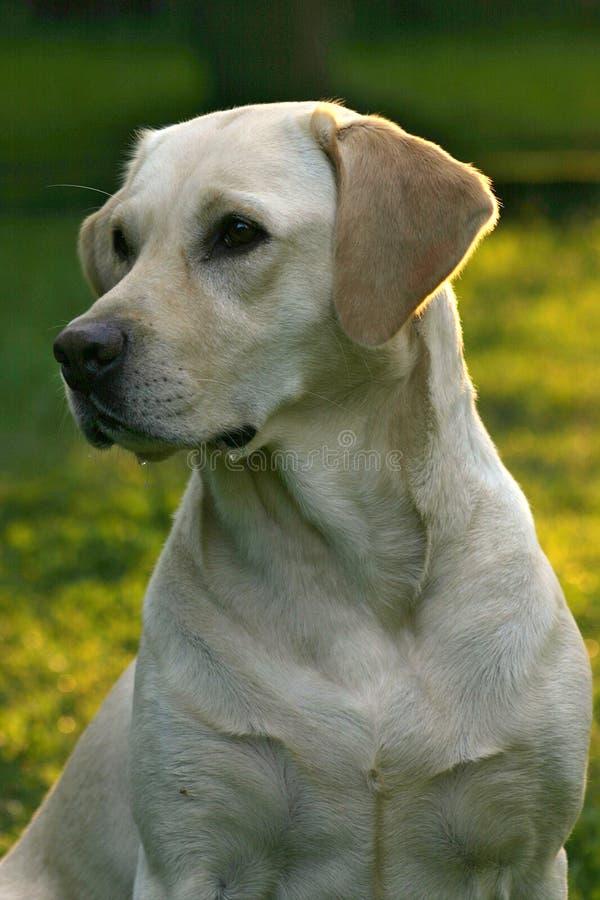 Perro del perro perdiguero de Labrador imagen de archivo