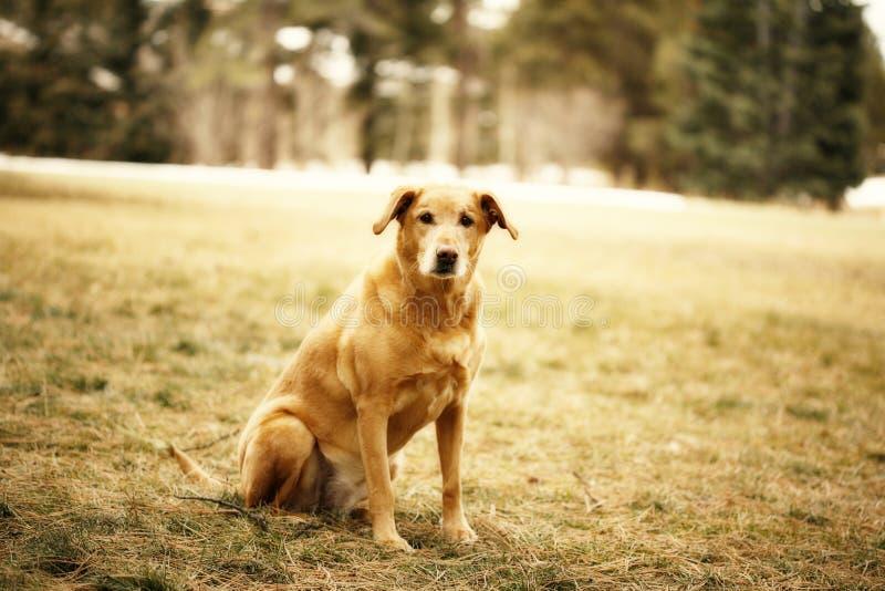 Perro del perro perdiguero de oro imágenes de archivo libres de regalías