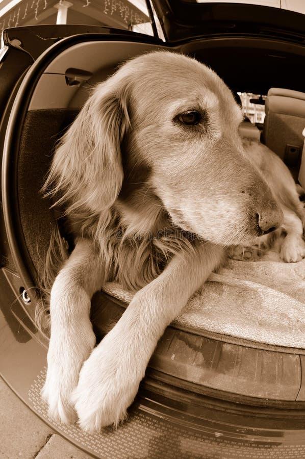 Perro del perro perdiguero que espera en coche imagen de archivo