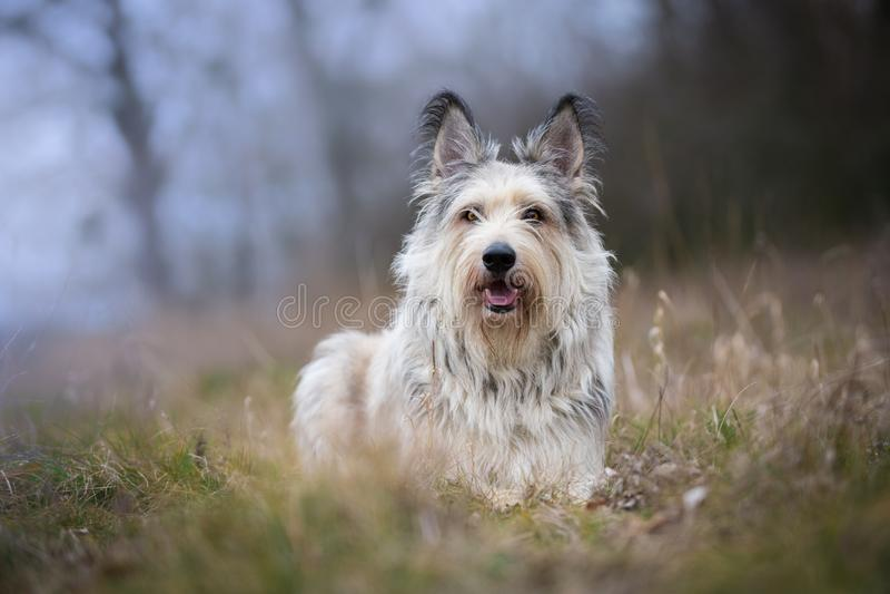 Perro del picard de Berger en invierno el campo imagen de archivo