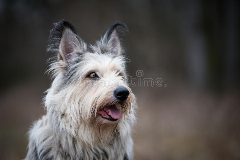 Perro del picard de Berger en invierno el campo imagenes de archivo