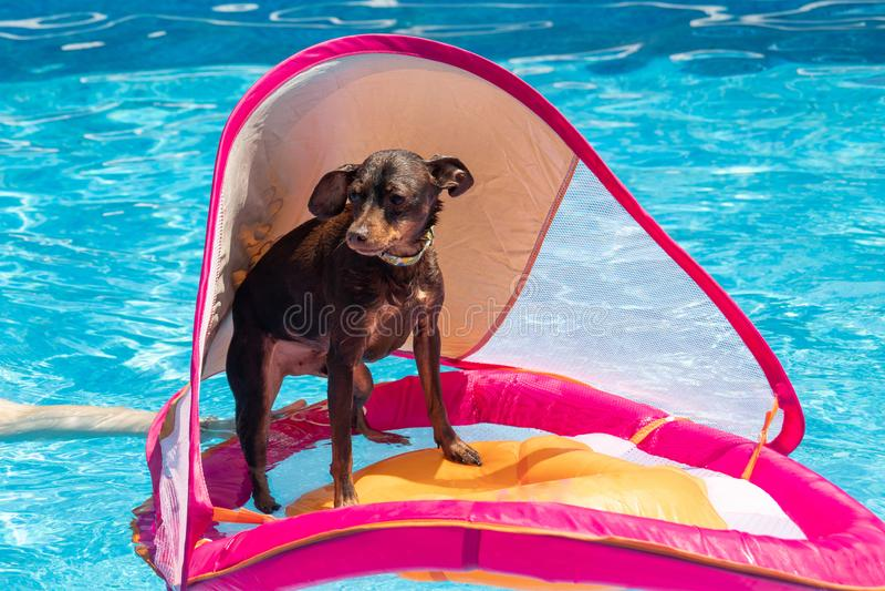 Perro del pinscher miniatura que flota en la piscina foto de archivo