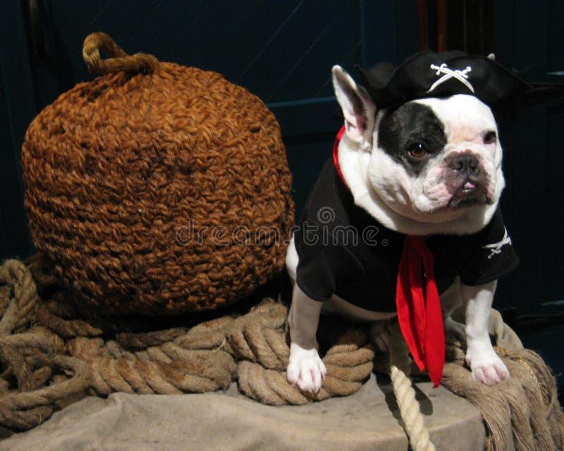 Perro del pirata foto de archivo libre de regalías