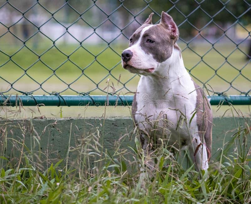 Perro del pitbull en alarma imagen de archivo