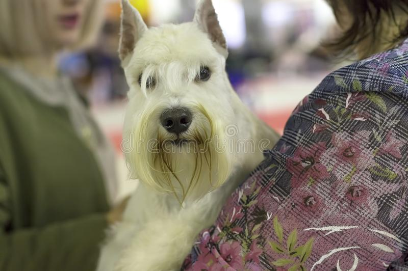 Perro del primer del terrier foto de archivo libre de regalías