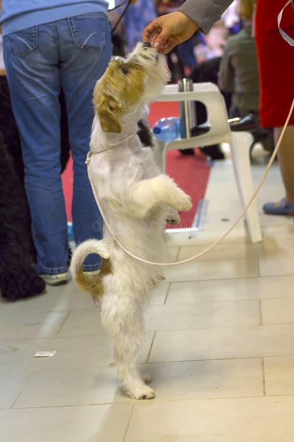 Perro del primer del terrier imagenes de archivo
