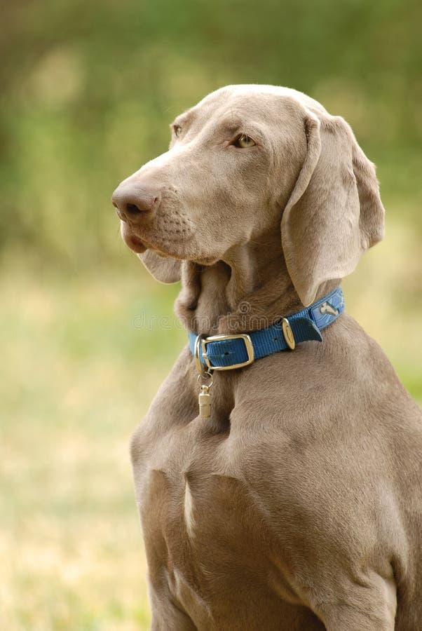 Perro del puntero imagen de archivo libre de regalías