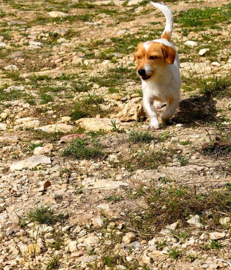 Perro del rancho de Terrier fotografía de archivo libre de regalías