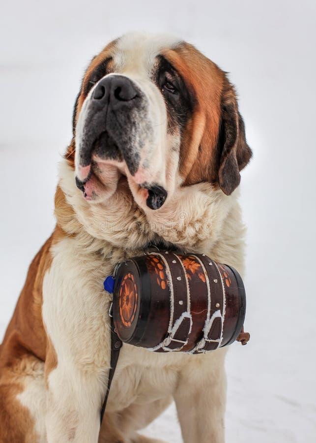 Perro del rescate de St Bernard con el barril icónico fotografía de archivo libre de regalías