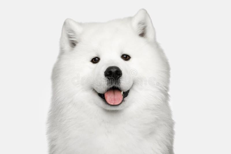 Perro del samoyedo aislado en el fondo blanco foto de archivo libre de regalías