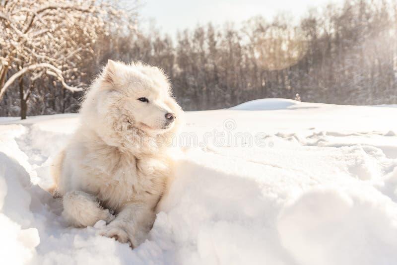 Perro del samoyedo en nieve imágenes de archivo libres de regalías