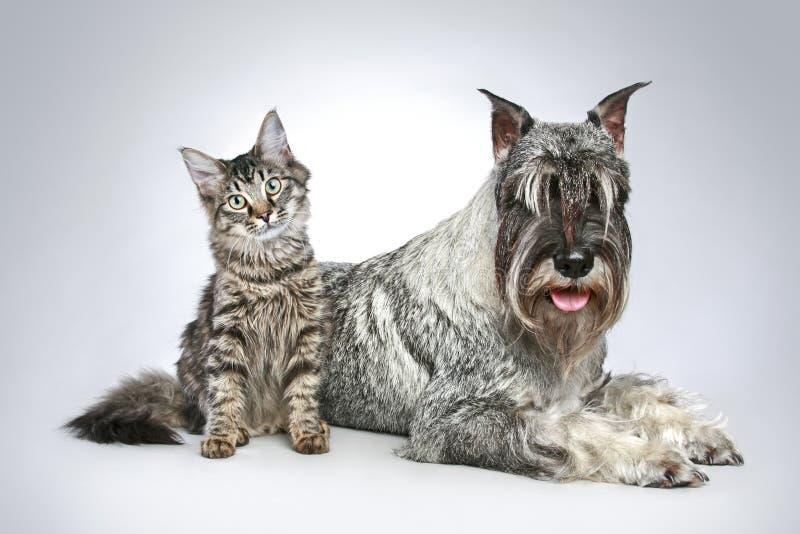 Perro del schnauzer del mittel de la casta con un pequeño gatito imagen de archivo libre de regalías