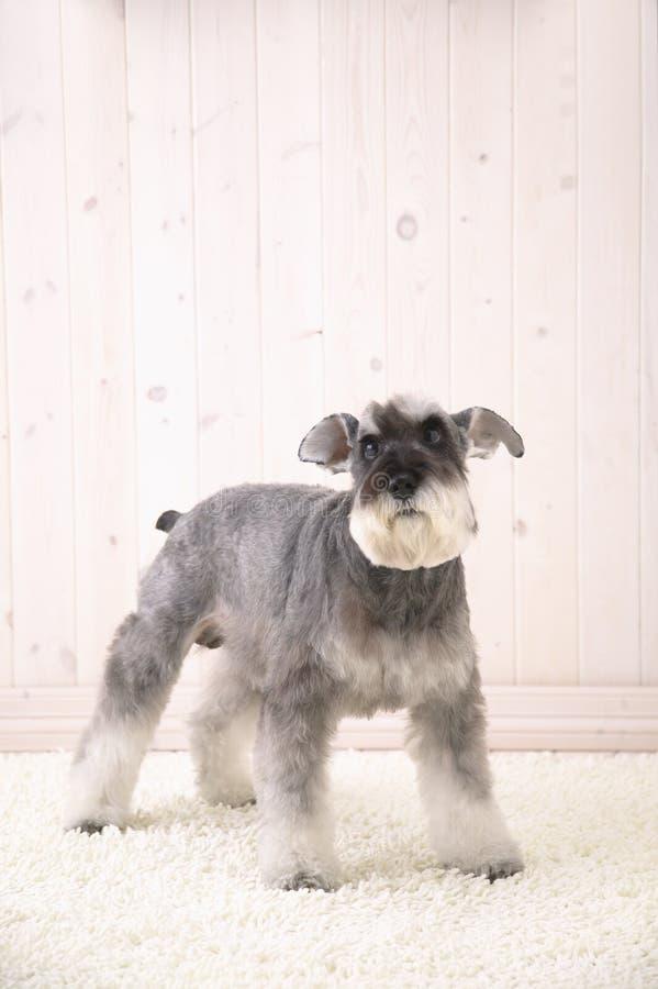 Perro del Schnauzer en la alfombra blanca foto de archivo libre de regalías
