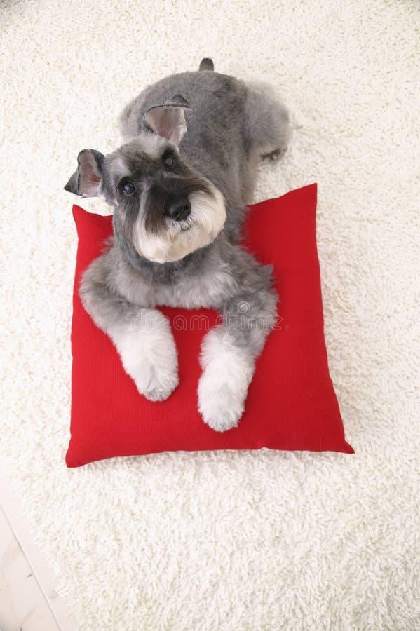 Perro del Schnauzer en la alfombra blanca y la almohadilla roja imagen de archivo libre de regalías