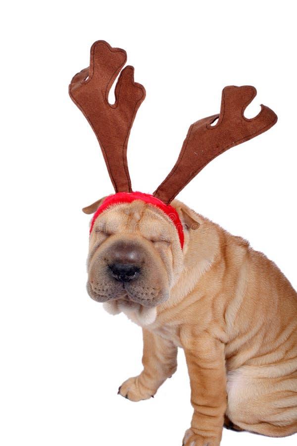 Perro del sharpei de la Navidad fotos de archivo libres de regalías