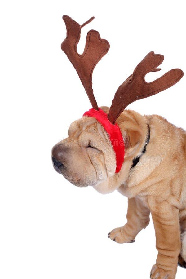Perro del sharpei de la Navidad imagenes de archivo