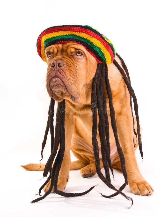 Perro del sombrero de Rastafarian fotografía de archivo libre de regalías