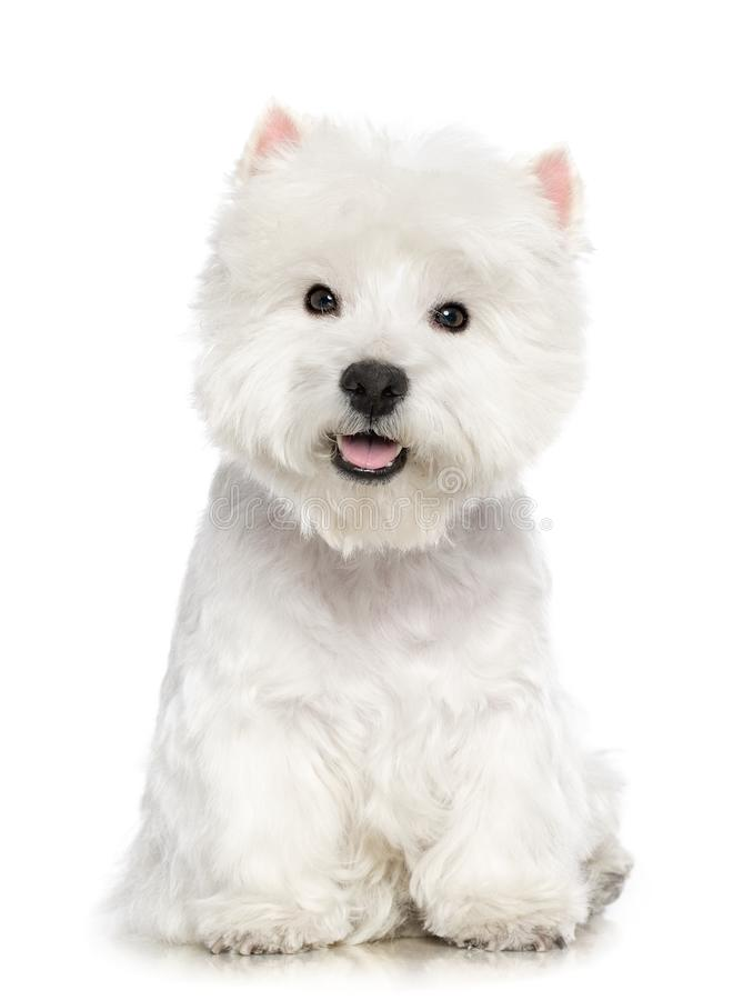 Perro del terrier blanco de montaña del oeste aislado en el fondo blanco imagenes de archivo