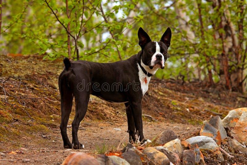 Perro del terrier de Boston imagen de archivo