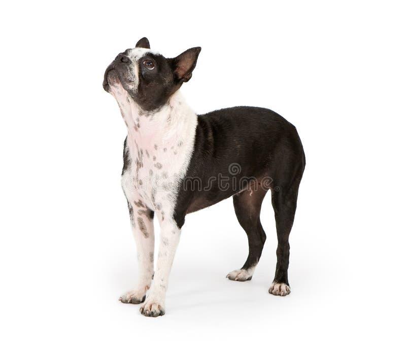 Perro del terrier de Boston que mira para arriba fotos de archivo libres de regalías
