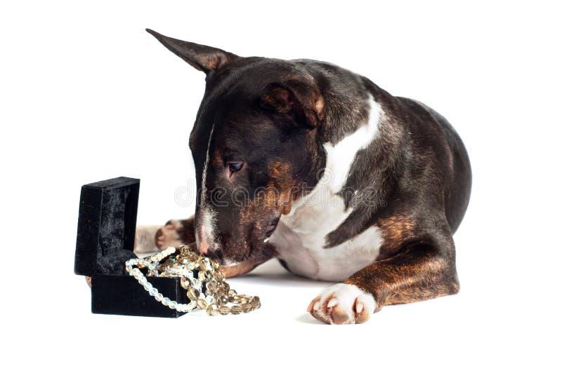 Perro del terrier de Bull con un rectángulo de joyería imágenes de archivo libres de regalías