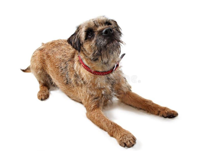 Perro del terrier de frontera imagen de archivo