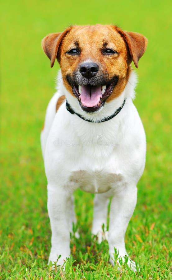 Perro del terrier de Gato Russell imagenes de archivo
