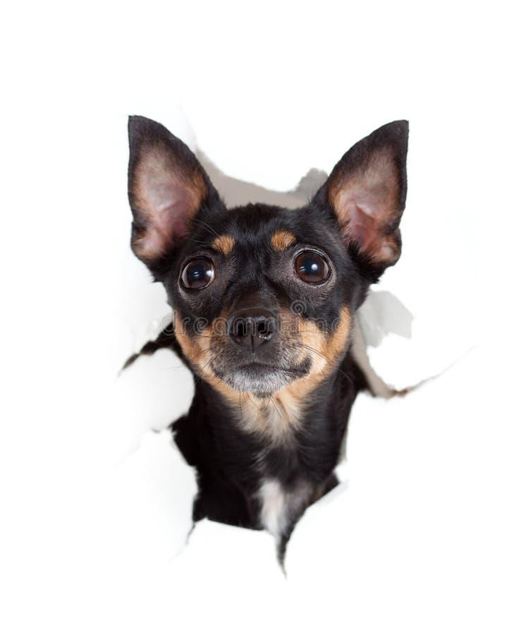 Perro del terrier de juguete en agujero rasgado cara de papel imagenes de archivo