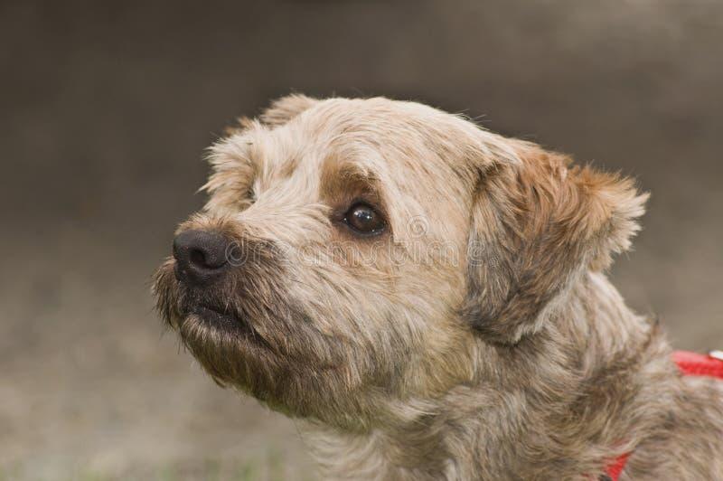 Perro del terrier de mojón en cierre del perfil para arriba fotografía de archivo