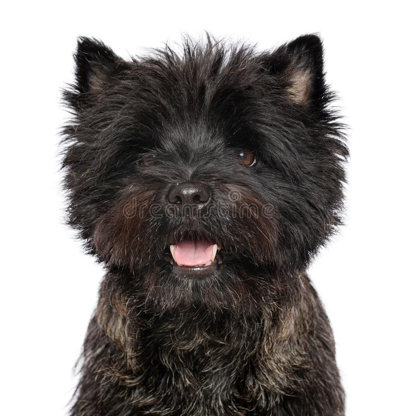 Perro del terrier de mojón en fondo blanco aislado imágenes de archivo libres de regalías