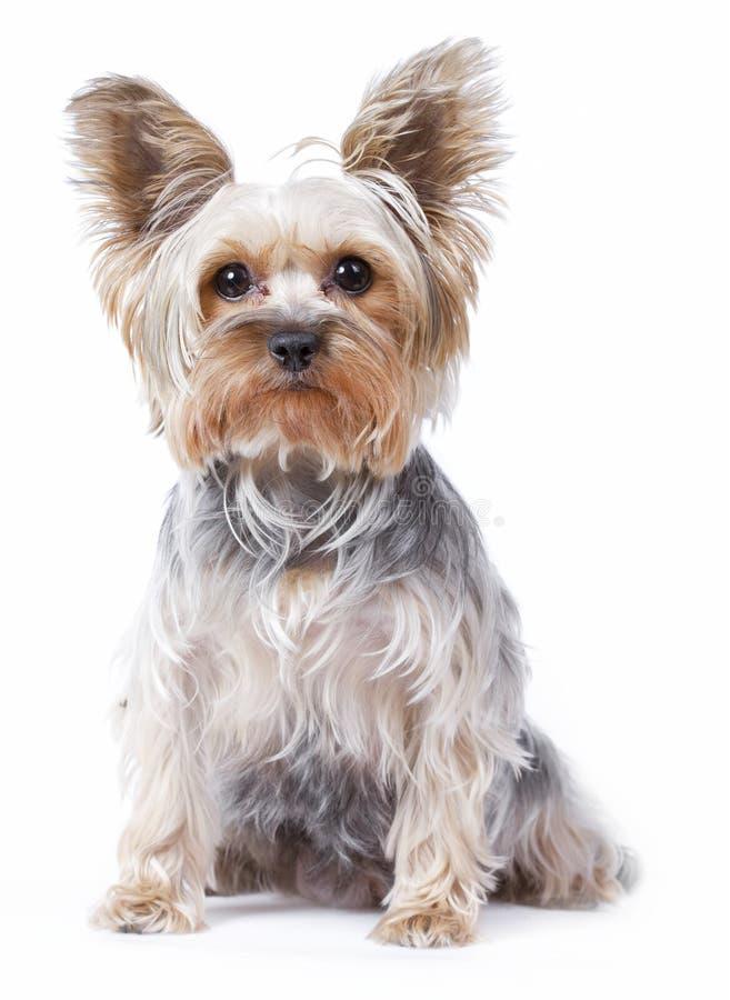 Perro del terrier de Yorkshire foto de archivo