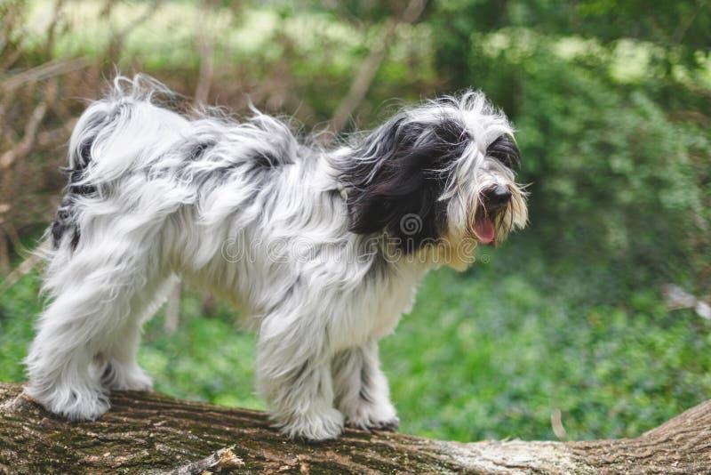 Perro del terrier tibetano que se coloca en tronco de árbol caido en bosque imagen de archivo